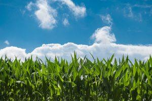 とうもろこし畑と青空